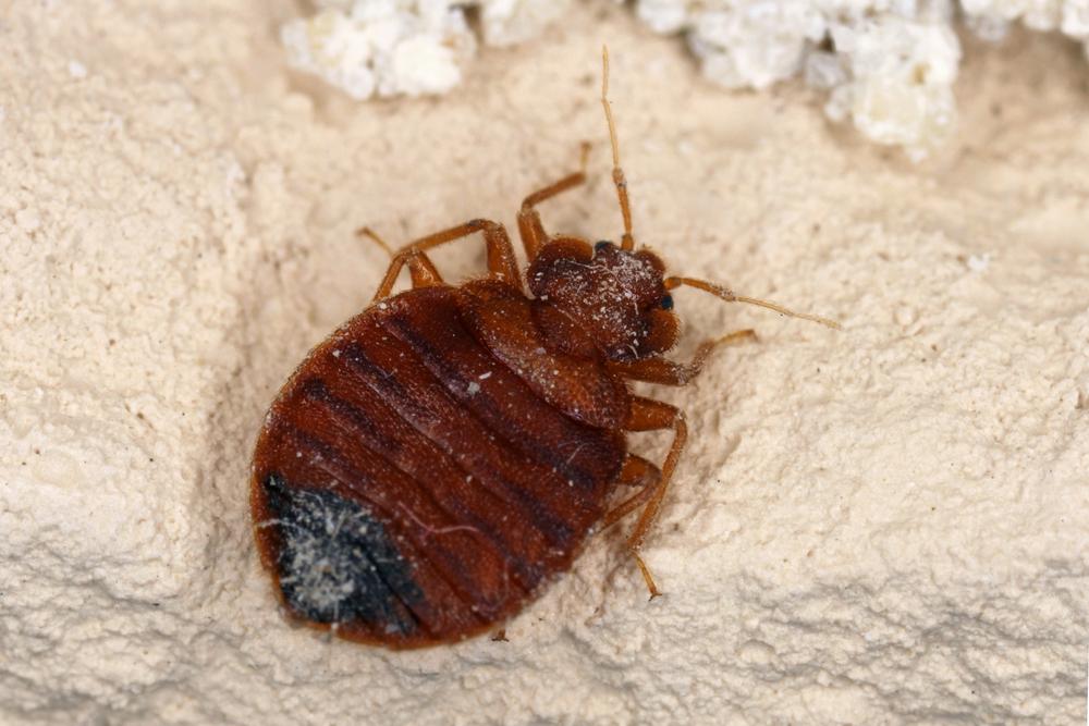 اضرار حشرة البق | وكيفية علاج قرصة البق نهائيا