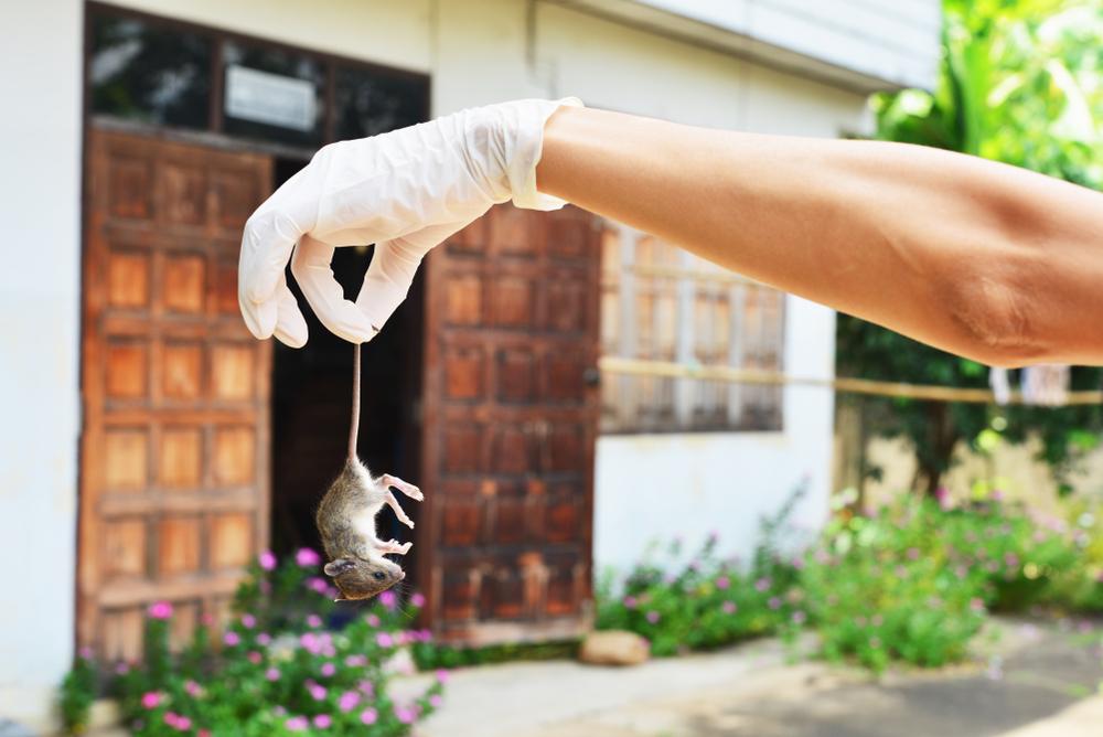 كيفية التخلص من الفئران في المنزل بشكل نهائي